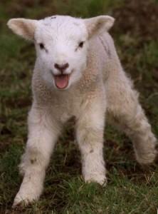 lamb_20687974